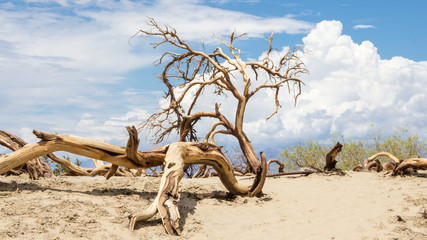 Dead trees in Death Valley National Park