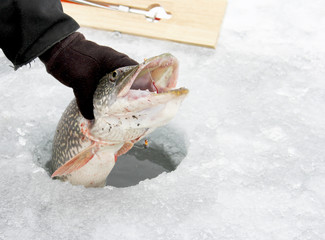 Northern Pike through the ice