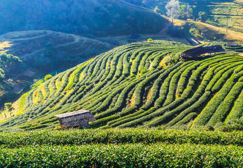 Tea plantation and Cherry blossom in Chiang Mai, Thailand
