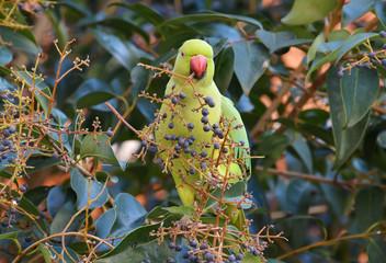pappagallo che mangia bacche nella foresta