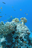 coral reef with soft and hard corals and exotic fishes anthias