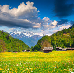 Blossom fold of flowers in the swiss alps.