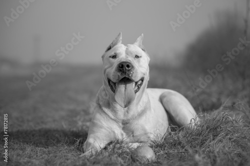 Dogo Argentino black and white portrait