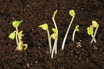 semis de radis