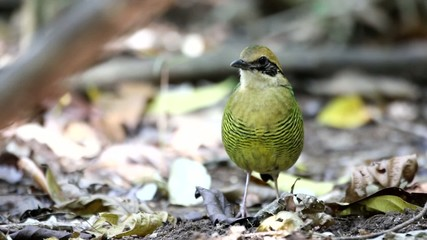 Bar-bellied Pitta (Hydrornis elliotii) in Vietnam