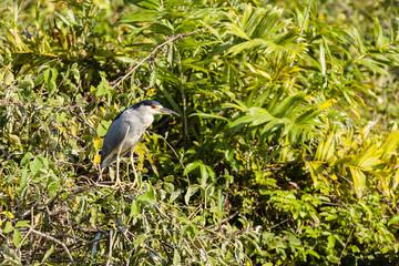 Black Crowned Night Heron in Bushes