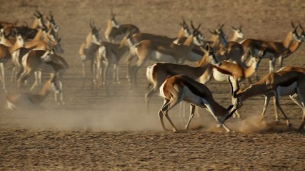 Springbok antelopes fighting, Kalahari desert