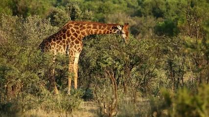 Giraffe feeding on an Acacia tree, South Africa