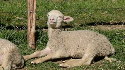 Small merino sheep lamb resting in a paddock