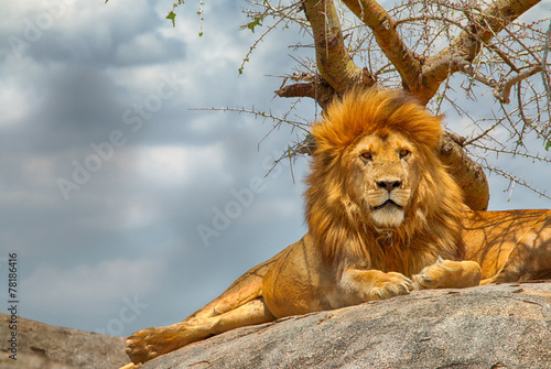 Male lion sitting on a rock facing straight