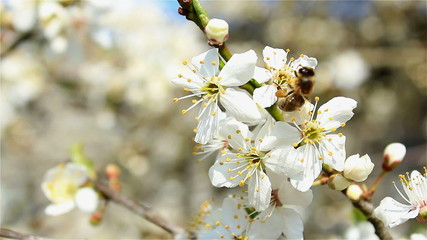 industrious bee on blossom