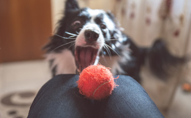 border collie catching ball