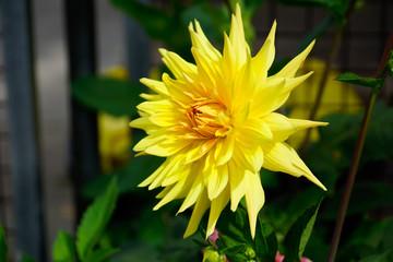 Gelbe Aster
