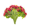 Bouquet of beautiful red freesias,isolated on white background