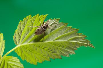Snout beetle under leaf