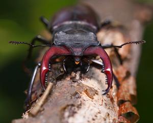 Stag beetle en face