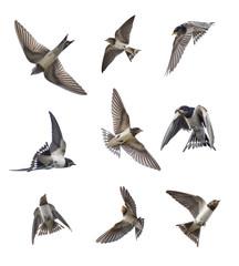 ツバメの巣立ち雛の飛翔