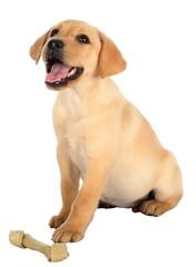 Happy Labrador Puppy