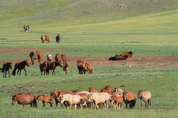 Chevaux dans la steppe mongole