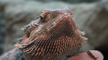 Iguanas, Reptiles, Wild Animals