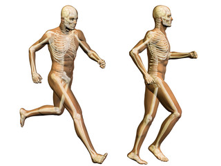 3D human man anatomy isolated