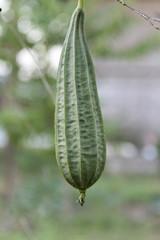 Fresh luffa gourd plant closeup.