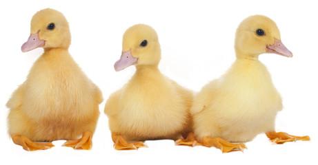Drei Entenküken