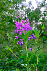 Willow-herb (Ivan-tea)