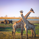 Crossed giraffes on African Savannah