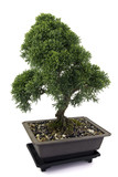 Juniperus bonsai on white background