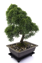 green bonsai tree of juniper on white background