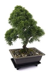 Juniperus  bonsai  on white background