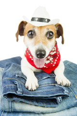 Adorable fashionable dog in the set of jeans things