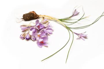 Fiori di zafferano, saffron flowers