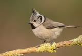 Fototapeta Crested tit (Lophophanes cristatus)