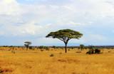 Fototapeta Sawanna - Savanna landscape © Maciej Czekajewski