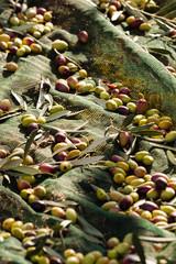 oliva coratina extravergine