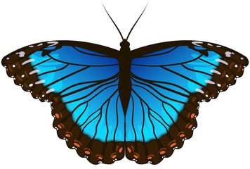 Beautiful Morpho Butterfly