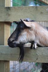 Sad Goat Behind Fence