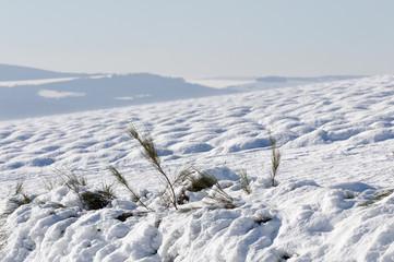 champ de lavande sous la neige soufflée par le vent (Mistral)