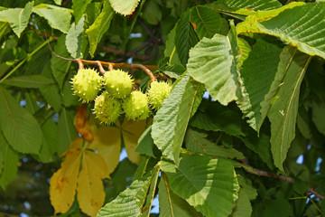 Chestnut tree fruits on branch
