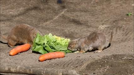 Schwarzschwanz-Präriehund (Cynomys ludovicianus) Prairie dog