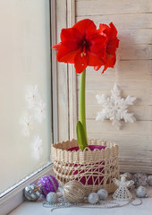 Red Hippeastrum  and Christmas decor
