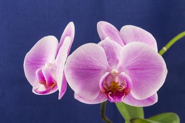 Орхидея фаленопсис, розовый цветок