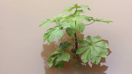 Cecropia tree in flooded rainforest