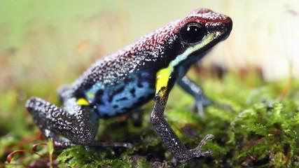 Ecuadorian poison frog (Ameerega bilinguis)