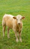 white calf in green grass