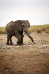 Elephant qui marche