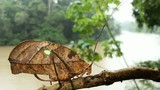 Leaf mimic katydid in rainforest with river background, Ecuador. poster