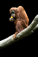 Orangutan on a branch
